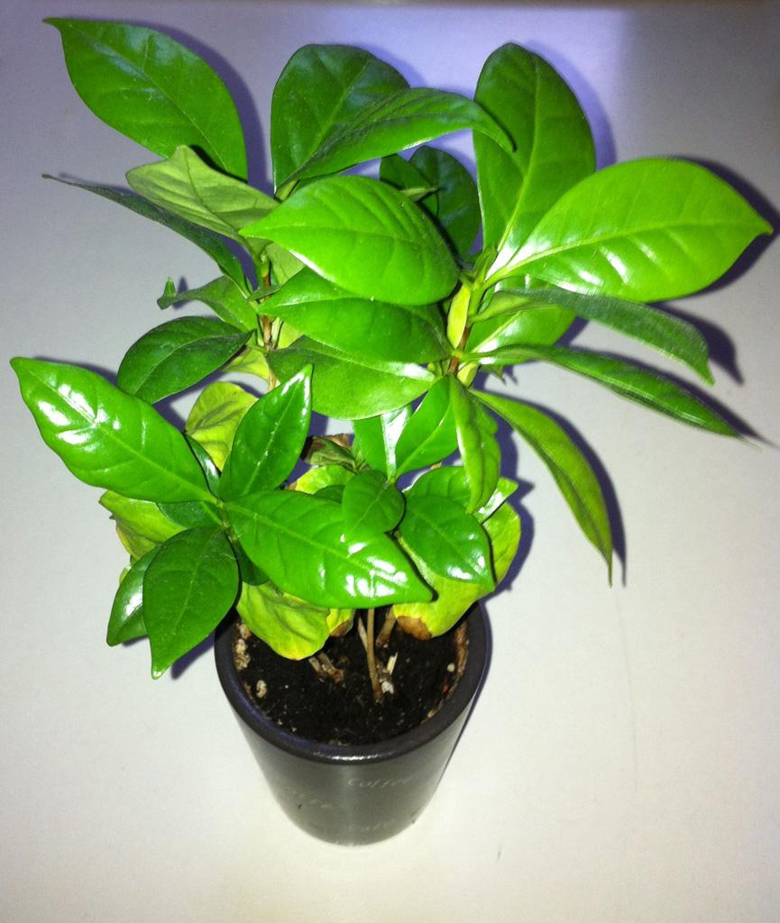 kaffee coffea arabica als zimmerpflanze trink kaffee. Black Bedroom Furniture Sets. Home Design Ideas